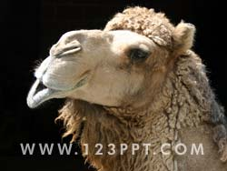 Camel Photo Image