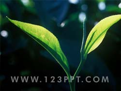 Tea Leaf Photo Image