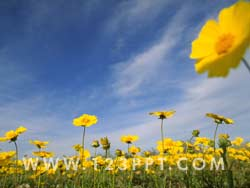 Field of Buttercups Photo Image