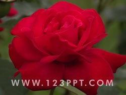 Red Rose Photo Image